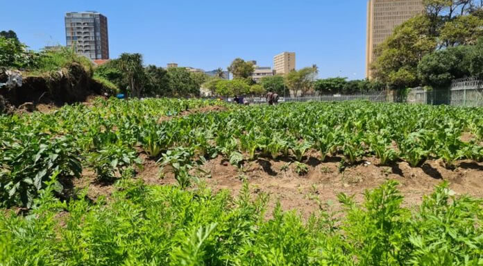 Homeless Men Turn Land Behind Durban's Elangeni Into Booming Organic Farm